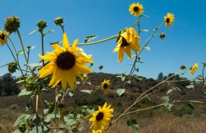Sunflowers in Peters Canyon